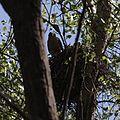 Accipiter cooperii nest.jpg
