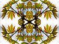 Acer platanoides20090512 069-Pattern.jpg