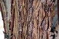 Acer triflorum 3zz.jpg