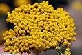 Achillea filipendula Coronation Gold 1zz.jpg