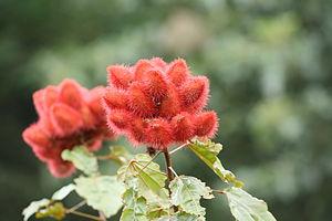 Bixa orellana - Achiote seed pods