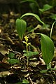 Achlorophyllous root parasitic plant ivy bromrape (Orobanche hederae Duby).jpg