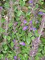 Acinos alpinus02.jpg