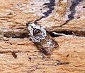 Acleris variegana (21727525145).jpg