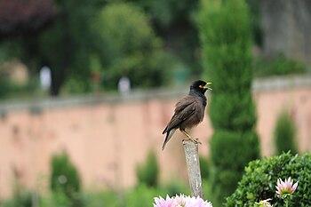 Acridotheres tristis - Chirping alone.jpg