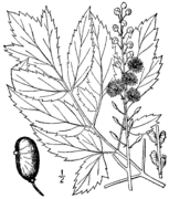Actaea racemosa racemosa drawing.png