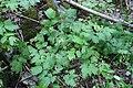 Actaea spicata plant (05).jpg