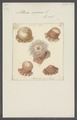 Actinia equina - - Print - Iconographia Zoologica - Special Collections University of Amsterdam - UBAINV0274 109 05 0011.tif