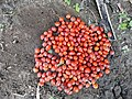 Adenanthera pavonina seeds. .jpg