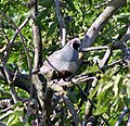 Adult quail in tree-503 (19567720909).jpg