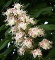 Aesculus hippocastanum PICT0026.JPG