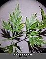Aethusa cynapium subsp. elata sl3.jpg