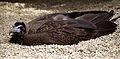African Hooded Vulture (6022453020).jpg