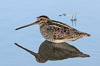 African snipe Species of bird