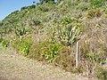 Agapanthus praecox orientalis Willd. (AM AK289837-1).jpg