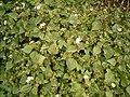 Ageratina adenophora (Barlovento) 03 ies.jpg