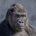 Ai-gorilla.png