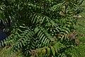 Ailanthus altissima35.jpg