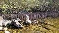 Al khore Mangrove forest (Purpule Island) - panoramio (23).jpg