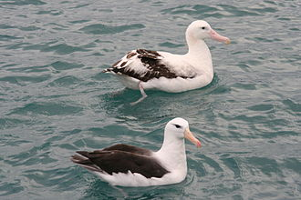 Gibson's albatross - Size comparison – Gibson's (above) and black-browed albatrosses