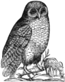 Aldrovandi Owl.png