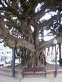 Alicante big tree 1.JPG
