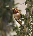 Allen's Hummingbird (Selasphorus sasin).jpg