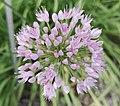 Allium angulosum-2F.jpg