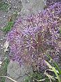Allium cristophii02.jpg