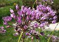 Allium lusitanicum ENBLA03.jpg