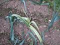 Allium porrum variegatum (15399415136).jpg