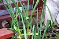Allium sativum 4 2014-03-26.jpg
