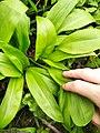 Allium ursinum 124549279.jpg