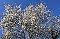 Almendro en flor - panoramio.jpg