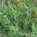 Aloe commixta redhill.jpg