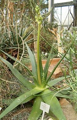 Aloe tomentosa BotGardBln271207B.jpg