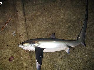 Pelagic thresher species of shark (Alopias pelagicus)