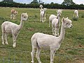 Alpacas near Thurlaston village - geograph.org.uk - 346666.jpg