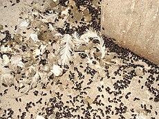 Alphitobius Diaperinus Wikipedia