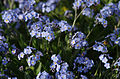 Alpine Forget-me-not - Myosotis alpestris.jpg