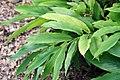Alpinia speciosa 4zz.jpg