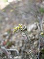 Alyssum desertorum-3-06-05.jpg