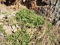 Amaranthus deflexus L. (AM AK308746-1).jpg
