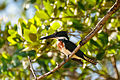 Amazon Kingfisher - Martın Pescador Matraquero (Chloroceryle amazona) (10468090076).jpg