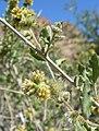 Ambrosia eriocentra 4.jpg