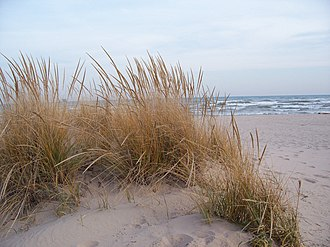 Ammophila breviligulata - American beachgrass in Kohler-Andrae State Park on Lake Michigan in November; note the seed heads rising above the leaves.