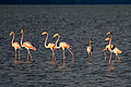 American Flamingo - Flamenco (Phoenicopterus ruber) (10427721423).jpg