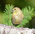 American Goldfinch, Washington State 06.jpg