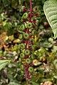 American Pokeweed (Phytolacca americana) - Kitchener, Ontario 01.jpg