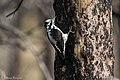American Three-toed Woodpecker Signal Burn Gila NF NM 2017-10-18 09-02-52 (27296314929).jpg